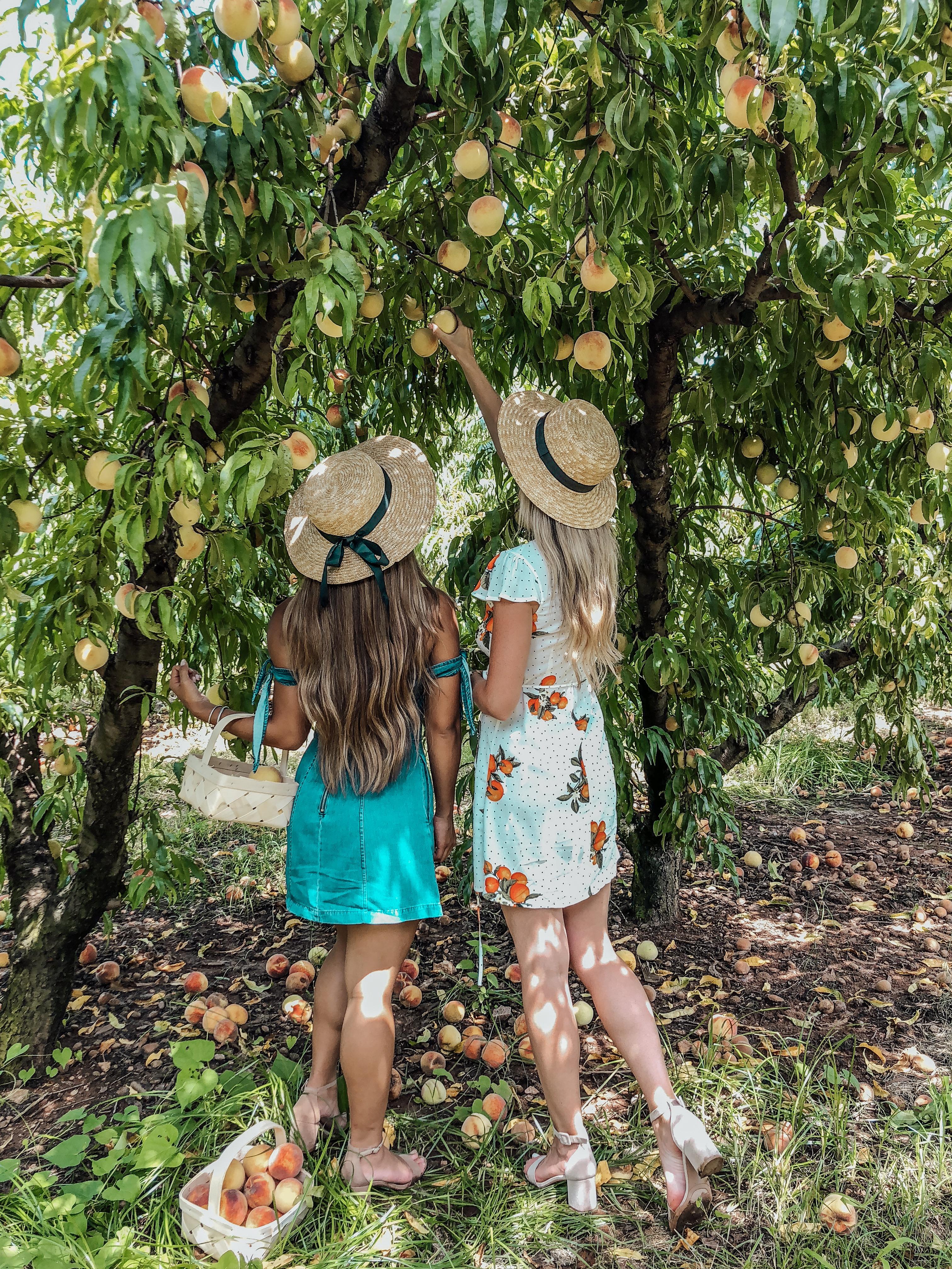 Peach Picking at Jaemor Farms